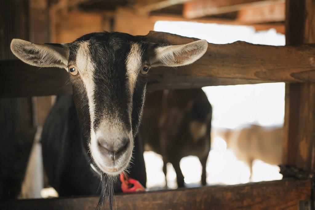 A farm animal on an organic farm. A goat in a pen.